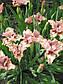 Ирис розовый карликовый , фото 2