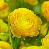 Ранункулюс (лютік) Tomer  Yellow 5/6 (5 шт), фото 1