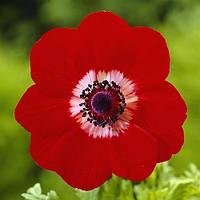 Анемона Anemone Hollandia 8/+ Голандія (5 шт), фото 1