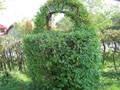 Продажа саженцев граба, ели, бука для живой изгороди, заборов, живоплотов., фото 1