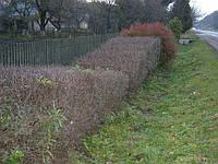 Кусты барбариса, боярышника, шиповника, кизильника, спиреи, бересклета, калины для живых изгороди