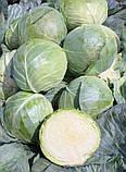 Семена капусты б/к Компас F1 (10 г), фото 2