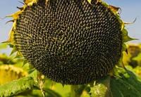 Семена подсолнечника Анцилла