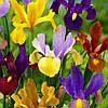 Ірис голандський Мікс Iris hollandica  (кореневище) 6/7 Нідерланди ( 10 шт)