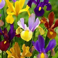 Ірис голандський Мікс Iris hollandica  (кореневище) 6/7 Нідерланди ( 10 шт), фото 1