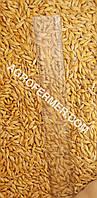 Семена ячменя ADDISON ярый трансгенный канадский сорт.