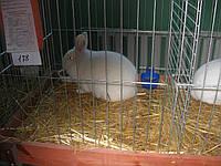Віденський  кролик