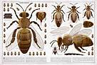Бджоли. Книга Пйотра Сохи, фото 4