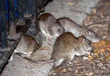 Крысы, мыши и борьба с ними. Обзор дератизационных средств.