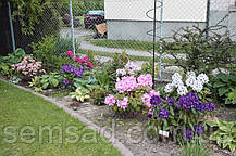 """Рододендрон """" Марсель Минард """" ( саженцы 3 года ЗКС )  Rhododendron Marcel Menard, фото 2"""