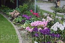"""Рододендрон """" Марсель Минард """" ( саженцы 3 года ЗКС )  Rhododendron Marcel Menard, фото 3"""
