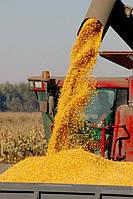 """Семена кукурузы """"Оржица 237"""""""