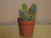 Кактус Lobivia Echinaia