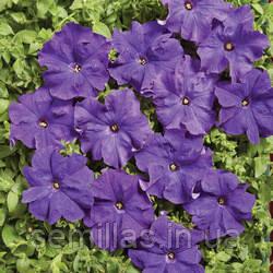 Семена петунии Мистрал F1, 50 драже, грандифлора синяя