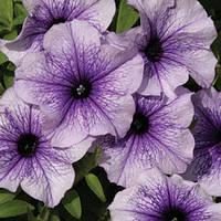 Семена петунии Нора F1, 50 драже, мультифлора, голубая с прожилками