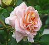 Розы. Саженцы роз.