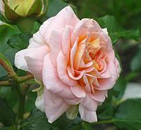 Розы. Саженцы роз. , фото 1