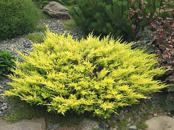 Можжевельник горизонтальный Лайм Глоу (Juniperus horizontalis Lime Glow )