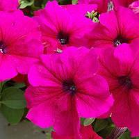Семена петунии Танго F1, 100 драже, грандифлора  бургунди