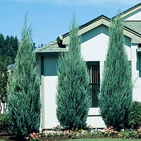 Можжевельник скальный Блю Эрроу ( Juniperus scopulorum Blue Arrow  )