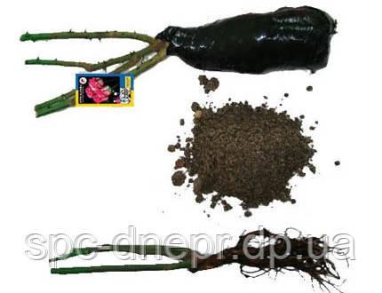 Бордюрные саженцы роз, спрей Tamango, фото 2