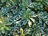 Очиток камчатский зеленый