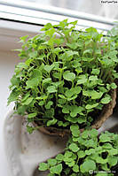 Насіння руколи для мікрозелені, 10 г