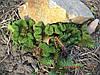 Очиток reflexum f. cristata