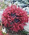 Красная щетка корень, родиола четырехчленная 50 г, фото 2