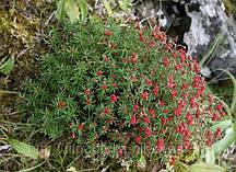 Червона щітка корінь, родіола чотиричленні 50 г