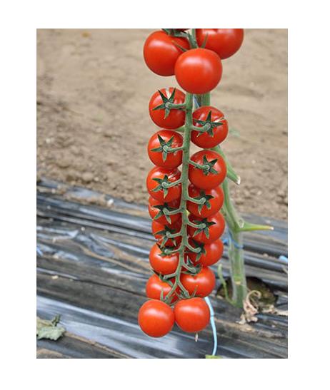 Насіння томату черрі Порпора F1 (250 сем.)