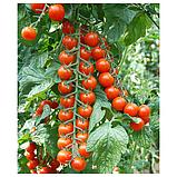 Насіння томату черрі Порпора F1 (250 сем.), фото 2