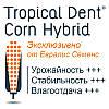 Что такое Tropical Dent и как это влияет на гибриды кукурузы Евралис?