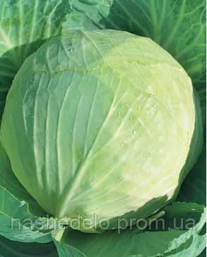 Семена капусты б/к Украинская осень 0,5 кг. Коуел(Хортус)
