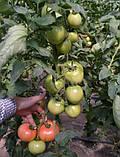Семена томата Глорианс F1 (250 сем.), фото 2