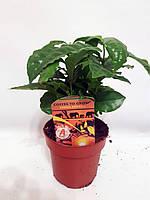 Кофейный куст Арабика (Coffea arabica) 20-30 см. Комнатный, фото 1
