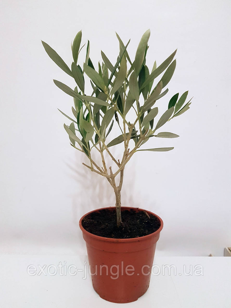 Олива европейская (Olea europaea) 40-50 см. Комнатная (Италия)