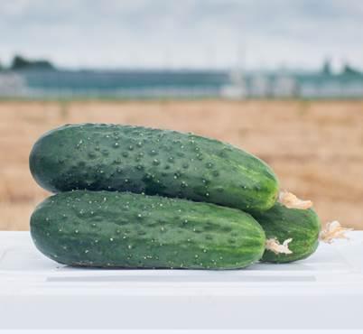 АНТИСИПАТОР F1 / ANTISIPATOR F1, 500 семян — огурец партенокарпический, Nunhems
