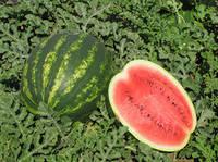 ТАМЕРЛАН F1 / TAMERLAN F1 семена арбуза 1000 семян — крупный, Nunhems