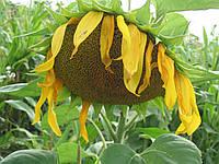 Семена подсолнечника КВС Драгон