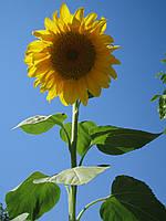 Семена подсолнечника Sirocco (Сирокко)