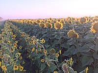Семена подсолнечника Фортасол (Fortasol), фото 1