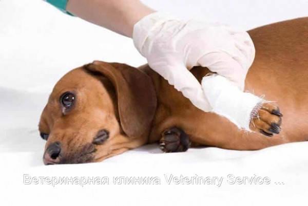 Хирургическое лечение вывиха коленной чашки (фабелло-тибиальный шов) - животное 10-20 кг