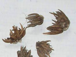 Чем отличаются луковица, клубнелуковица, клубень, клубневой корень и корневище