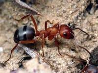 Уничтожение муравьев Киев и Киевская область. Дезинсекция муравьев в Киеве.