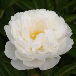Пион Gardenia Гардениа (lins, 1955, usa) (саженцы)