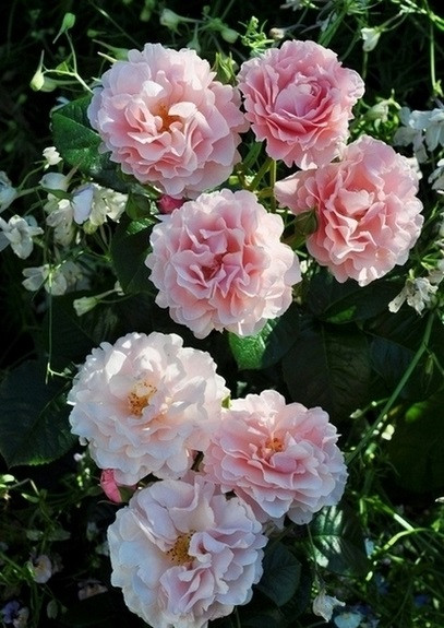 Роза Твиггис Роуз (Twiggy's Rose) Флорибунда