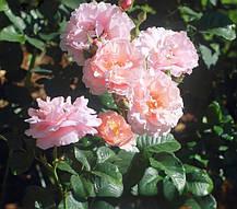 Роза Твиггис Роуз (Twiggy's Rose) Флорибунда, фото 3