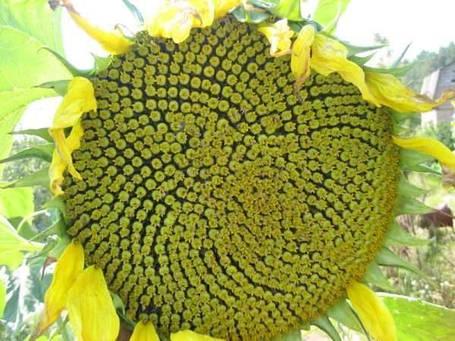 Семена раннего подсолнечника Евро под Евролайтинг, устойчивого к заразихе А-F,  засухоустойчивого, фото 2