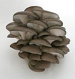 Мицелий Вешенки (Міцелій Гливи), фасовка по 2 кг., фото 4